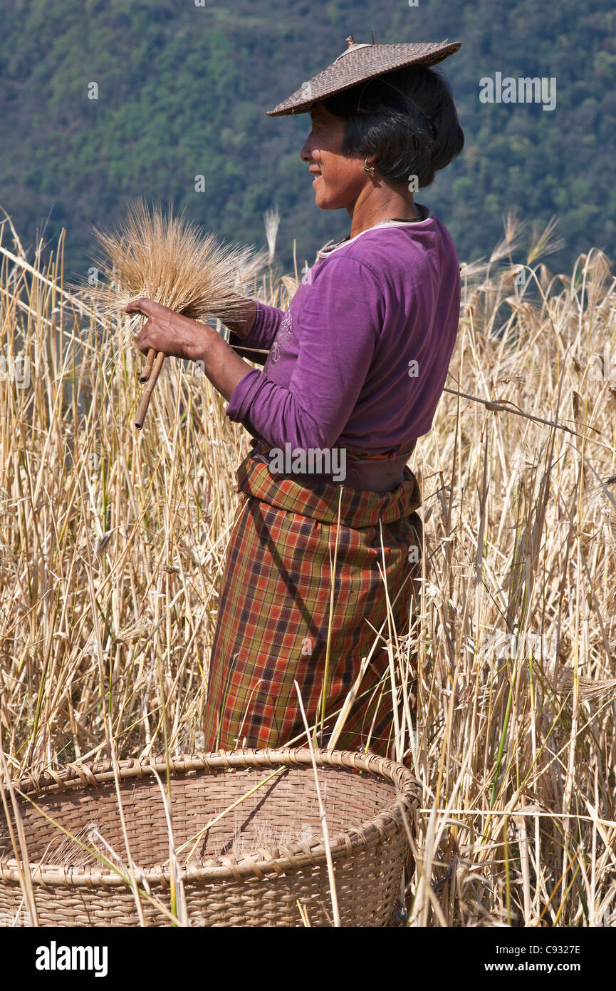 A woman harvests corn at her family  s hillside farm in the Mangde Chhu Valley. - Stock Image