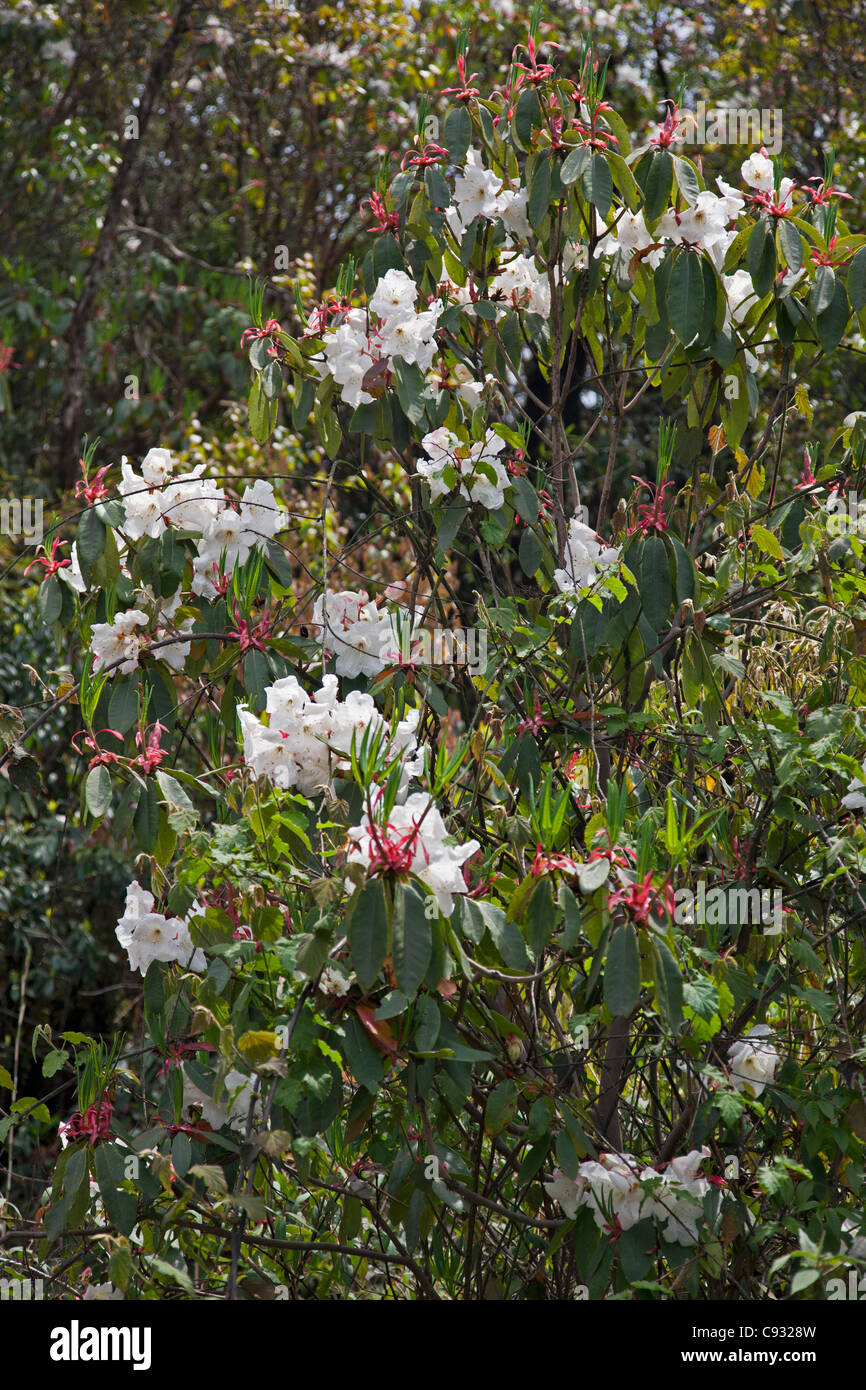 A beautiful white rhododendron growing in the mountains west of Trongsa. - Stock Image