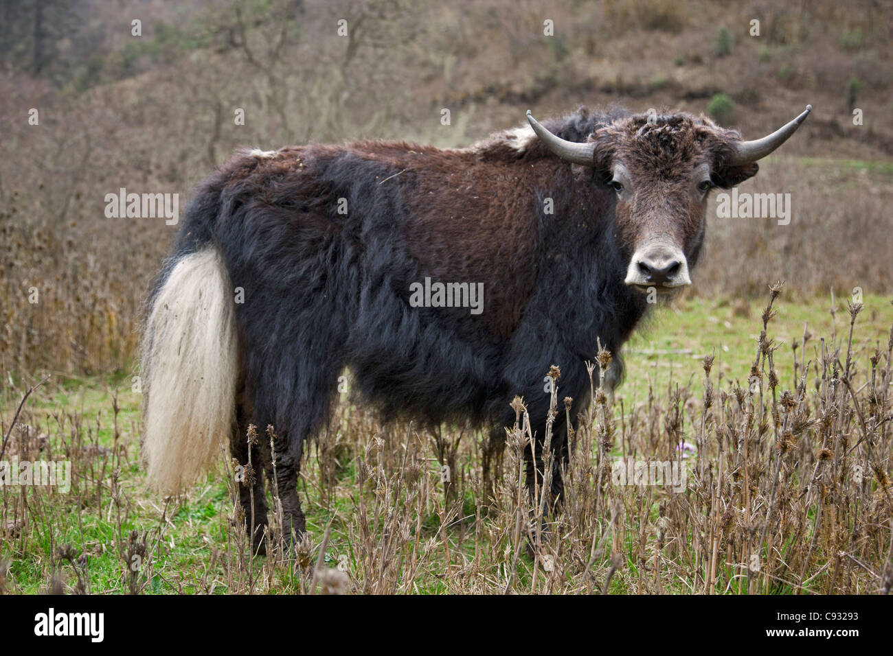 A domesticated yak in the mountains above the Phobjikha Valley. - Stock Image