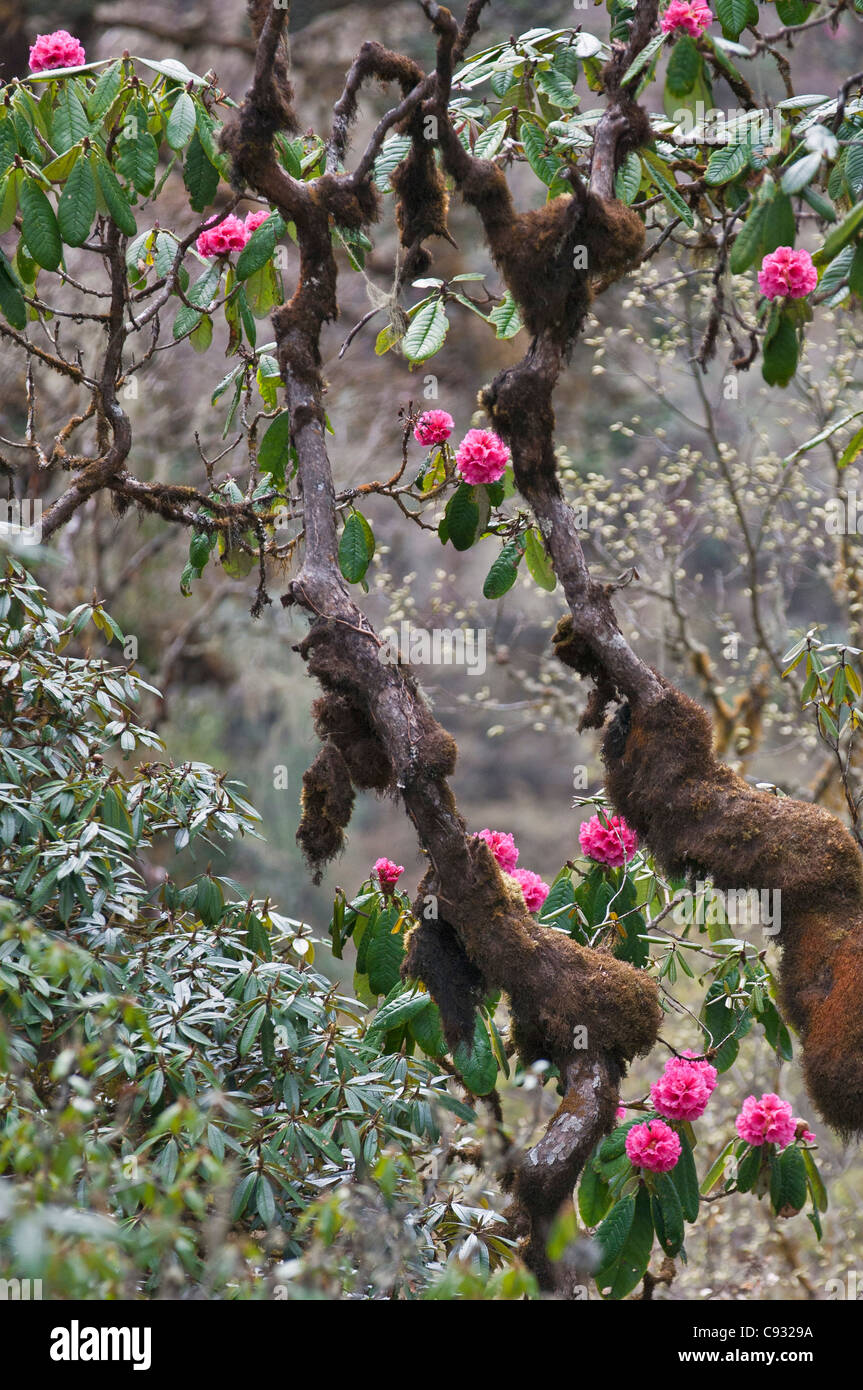 A beautiful pink rhododendron growing in the mountains above the Phobjikha Valley. - Stock Image