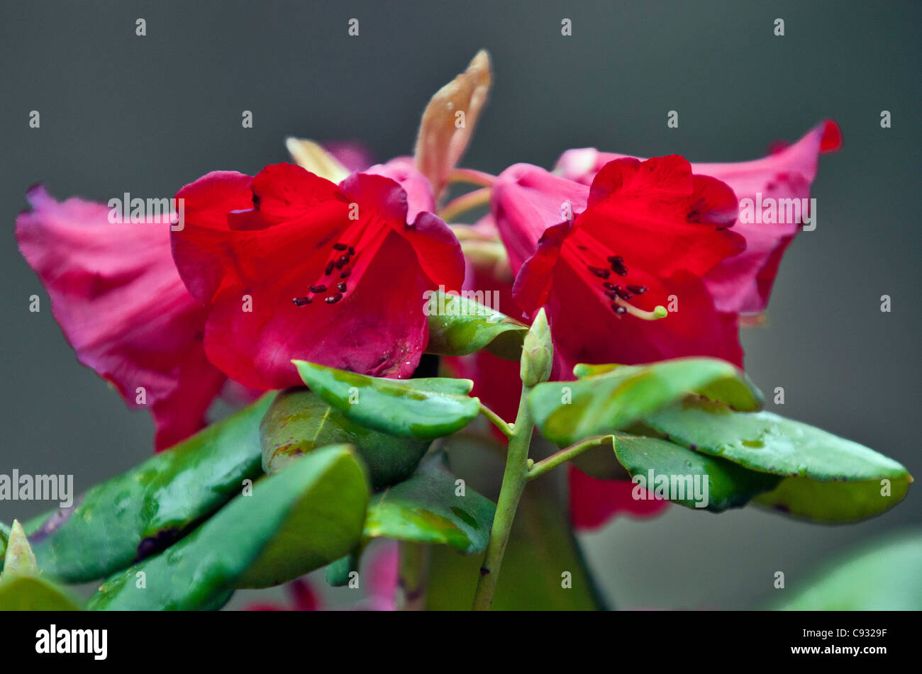 A beautiful deep red rhododendron growing in the Phobjikha Valley. - Stock Image
