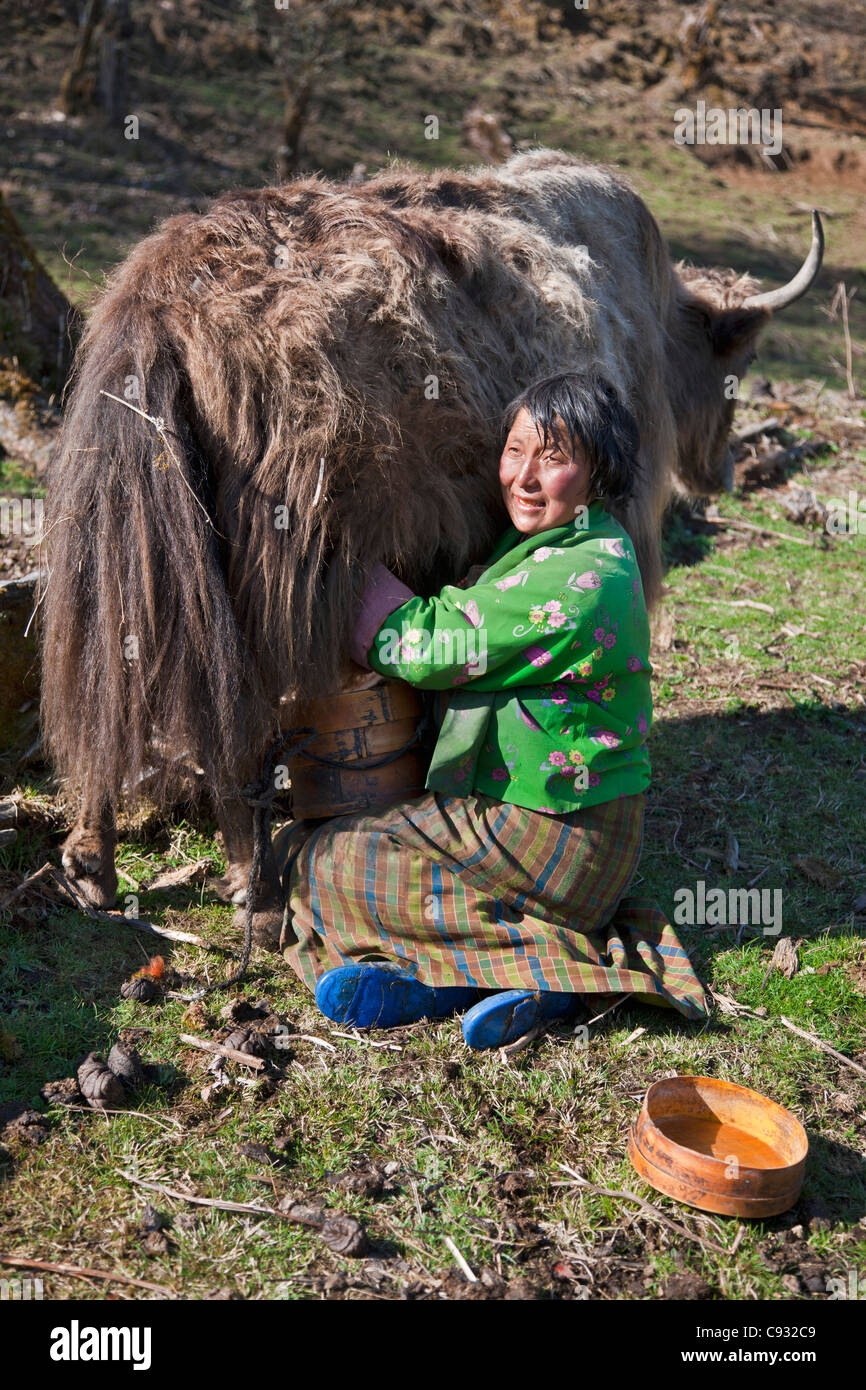 A woman milks a yak into a traditional wooden container while on the Black Mountains pass known as Lawa La. - Stock Image