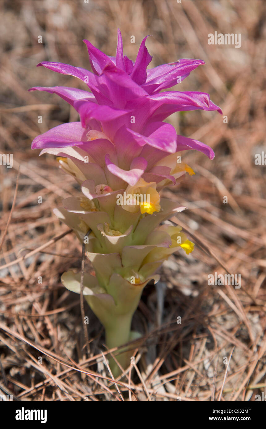 The pretty aromatic rhizome, Cucurma aromatica, which grows in hot, dry valleys. - Stock Image