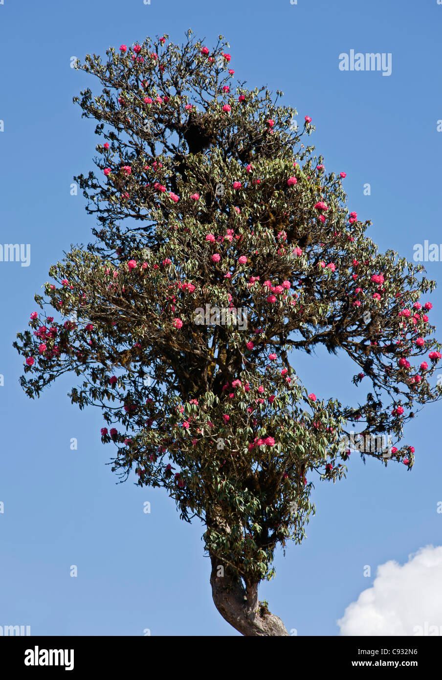 A magnificent old rhododendron tree at the 3,000-metres-high Dochu La Pass. - Stock Image