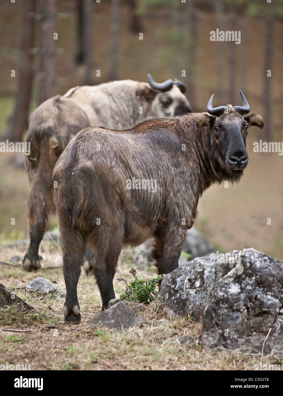 The strange Takin is Bhutan national animal because of its uniqueness and strong association with the countrys mythology. - Stock Image