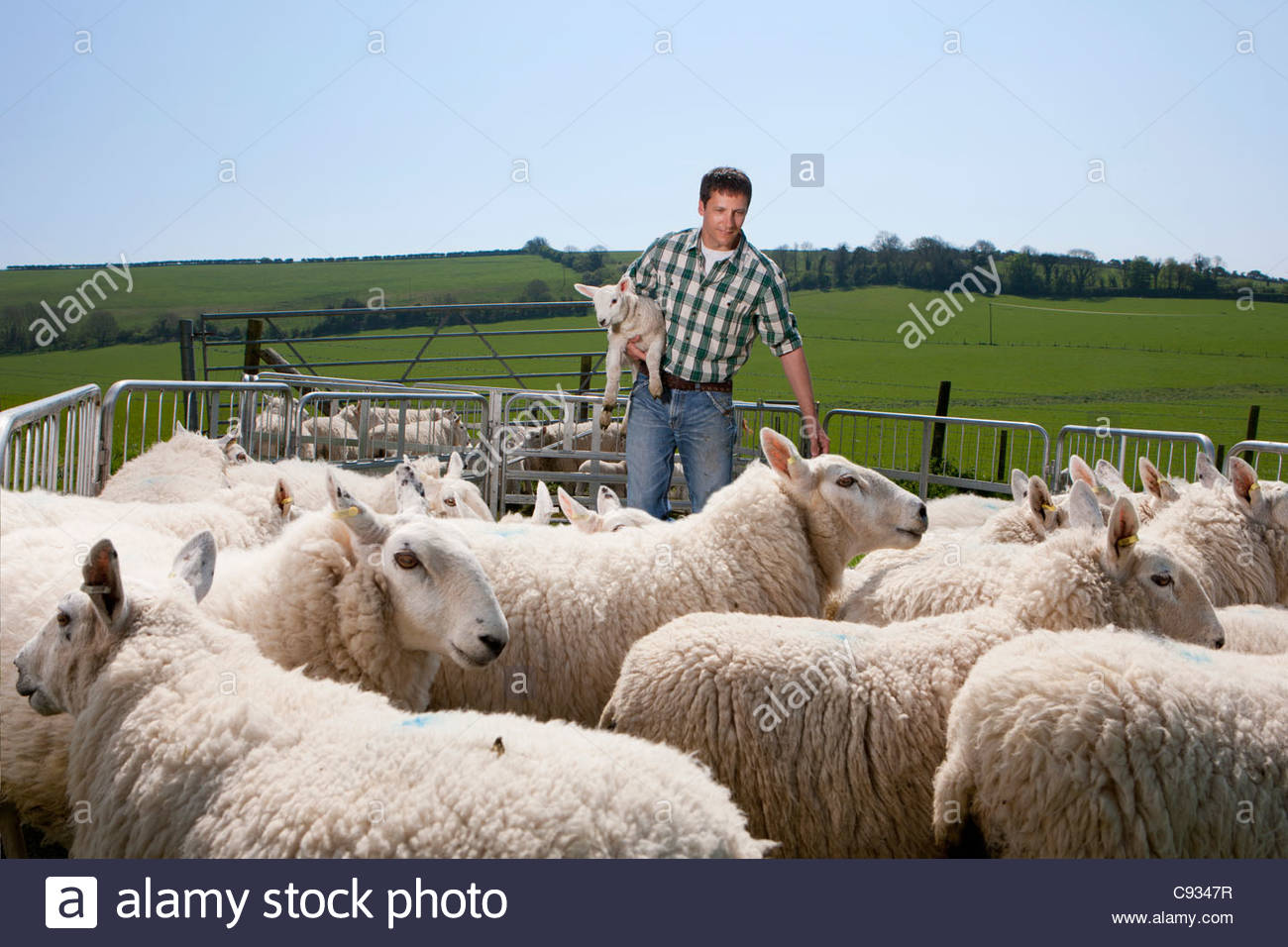 Shepherd holding lamb in pasture Stock Photo