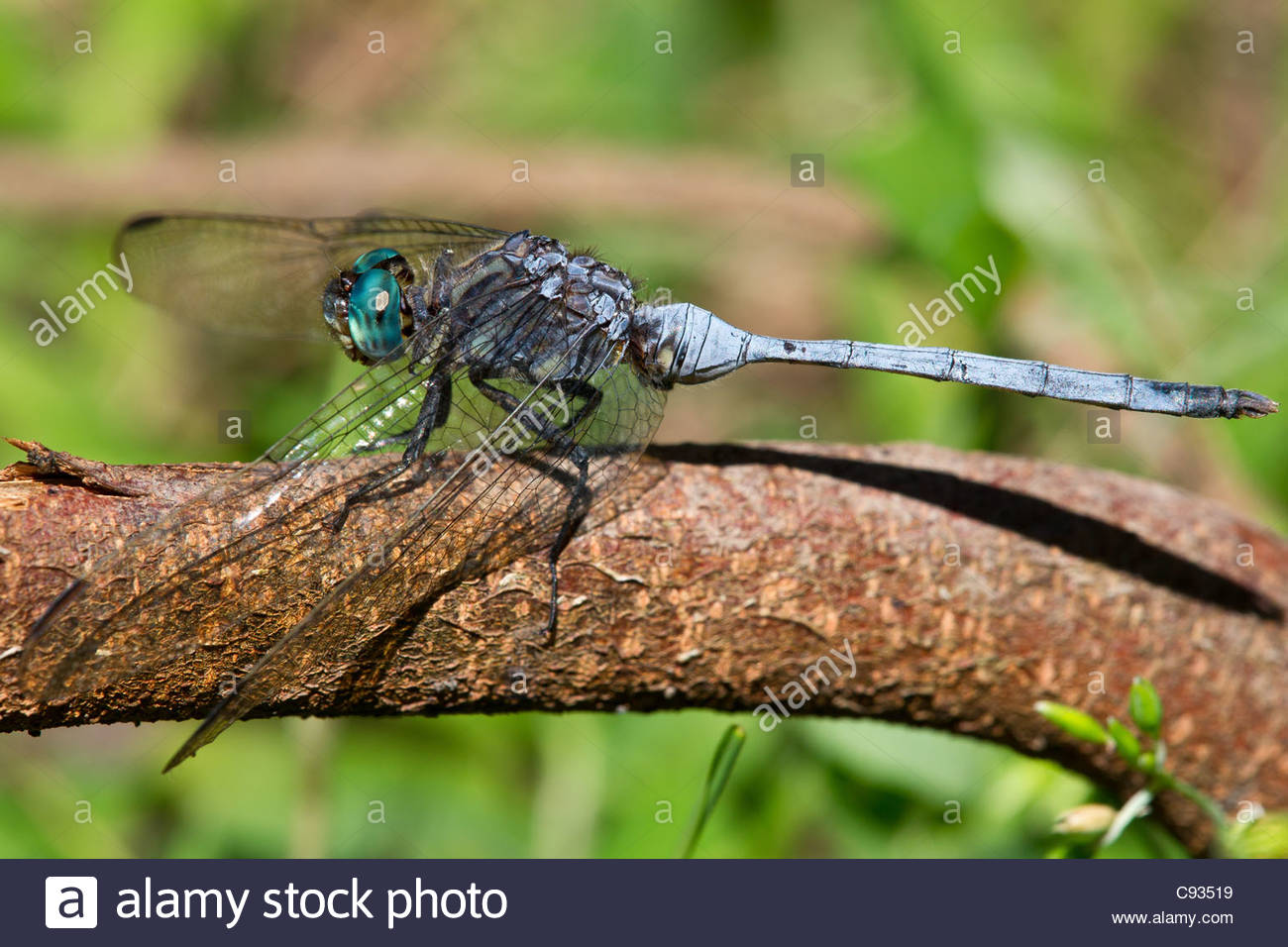 Orthetrum brachiale dragonfly known as the Tough Skimmer or Strong Skimmer - Stock Image