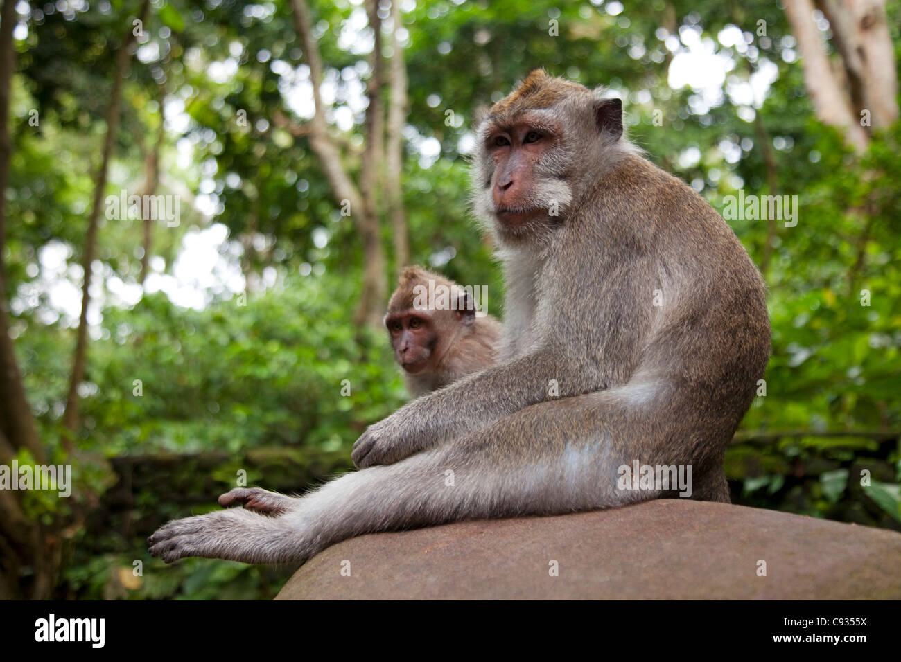 Bali, Ubud. Macaques sitting patiently on a wall in Ubud's Sacred Monkey Forest. - Stock Image