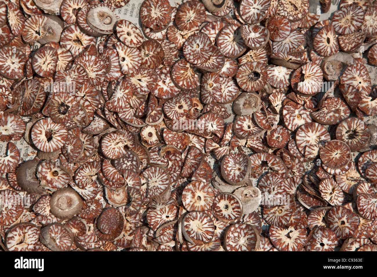 Slices of betel nut from the Areca palm drying in the sun. - Stock Image