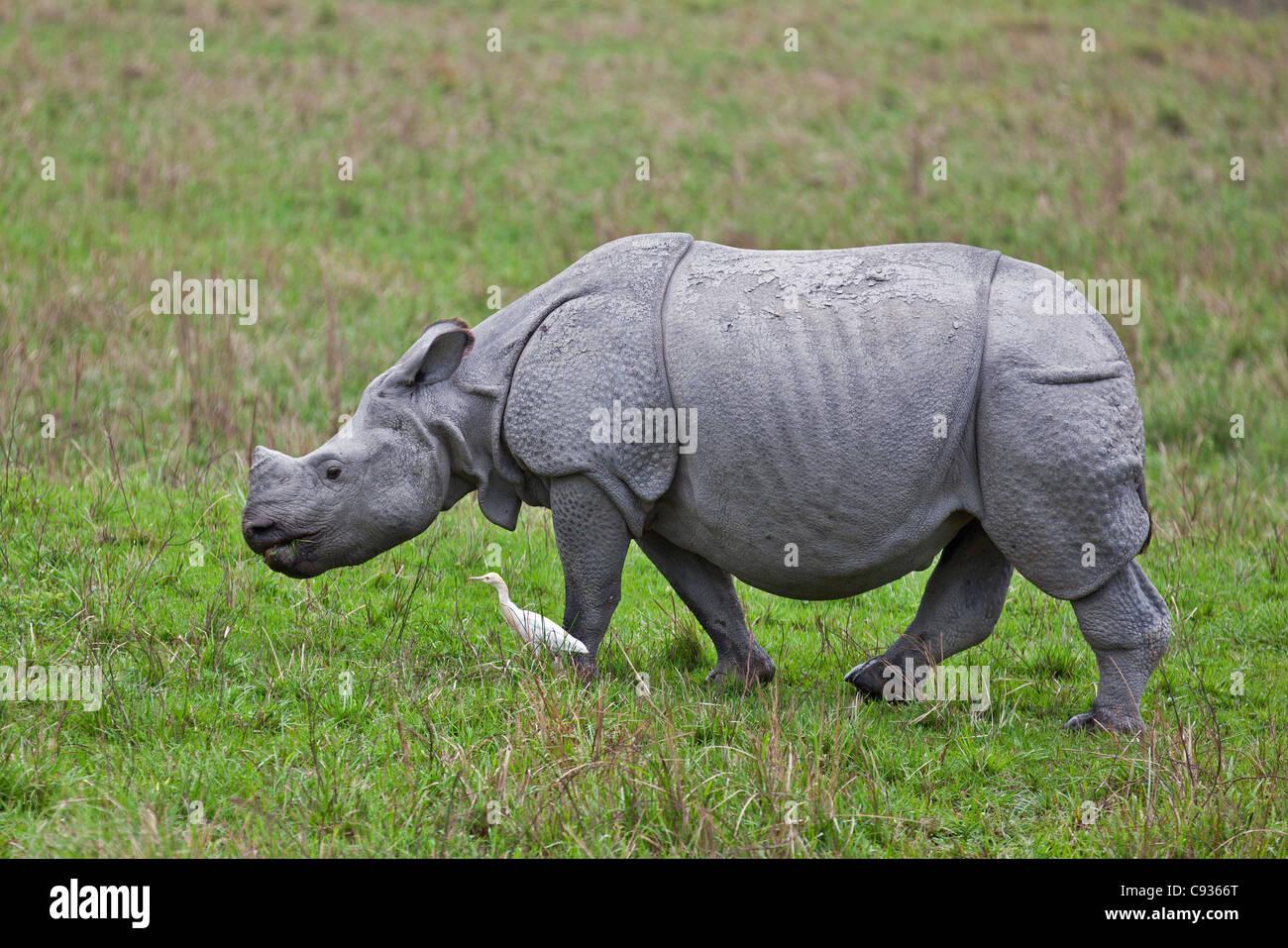 A Great Indian One-horned Rhino in Kaziranga National Park. - Stock Image