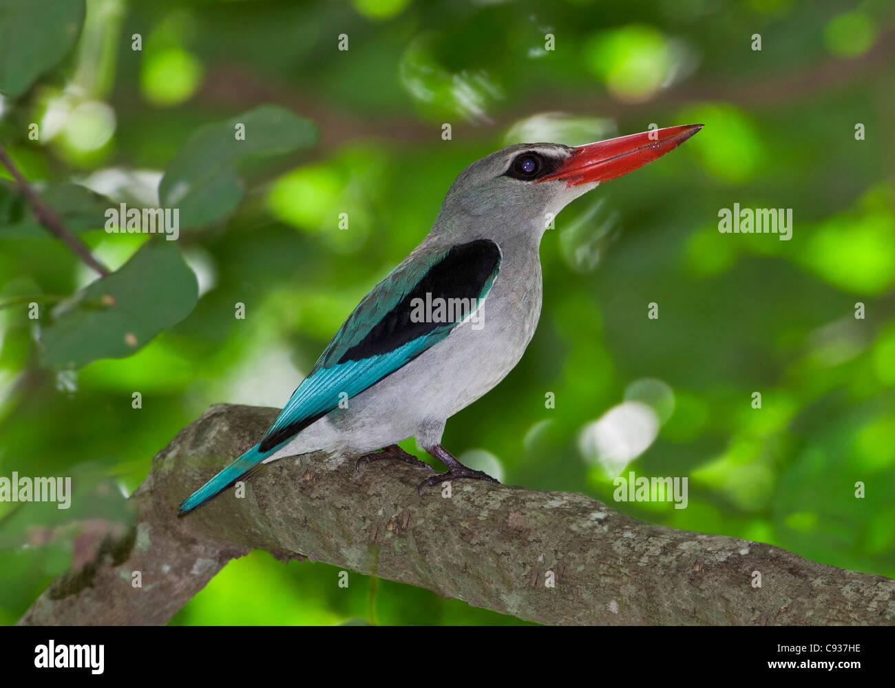 A Mangrove Kingfisher at Mida Creek, Watamu. - Stock Image