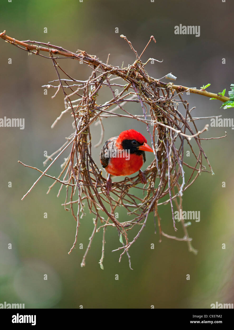 A red-headed Weaver building its nest. - Stock Image