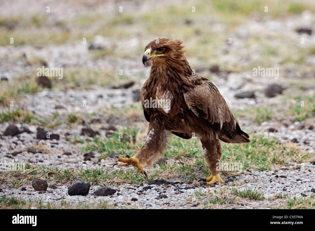 A Steppe Eagle striding out.  These eagles are Palearctic migrants to East Africa between October and April each - Stock Image