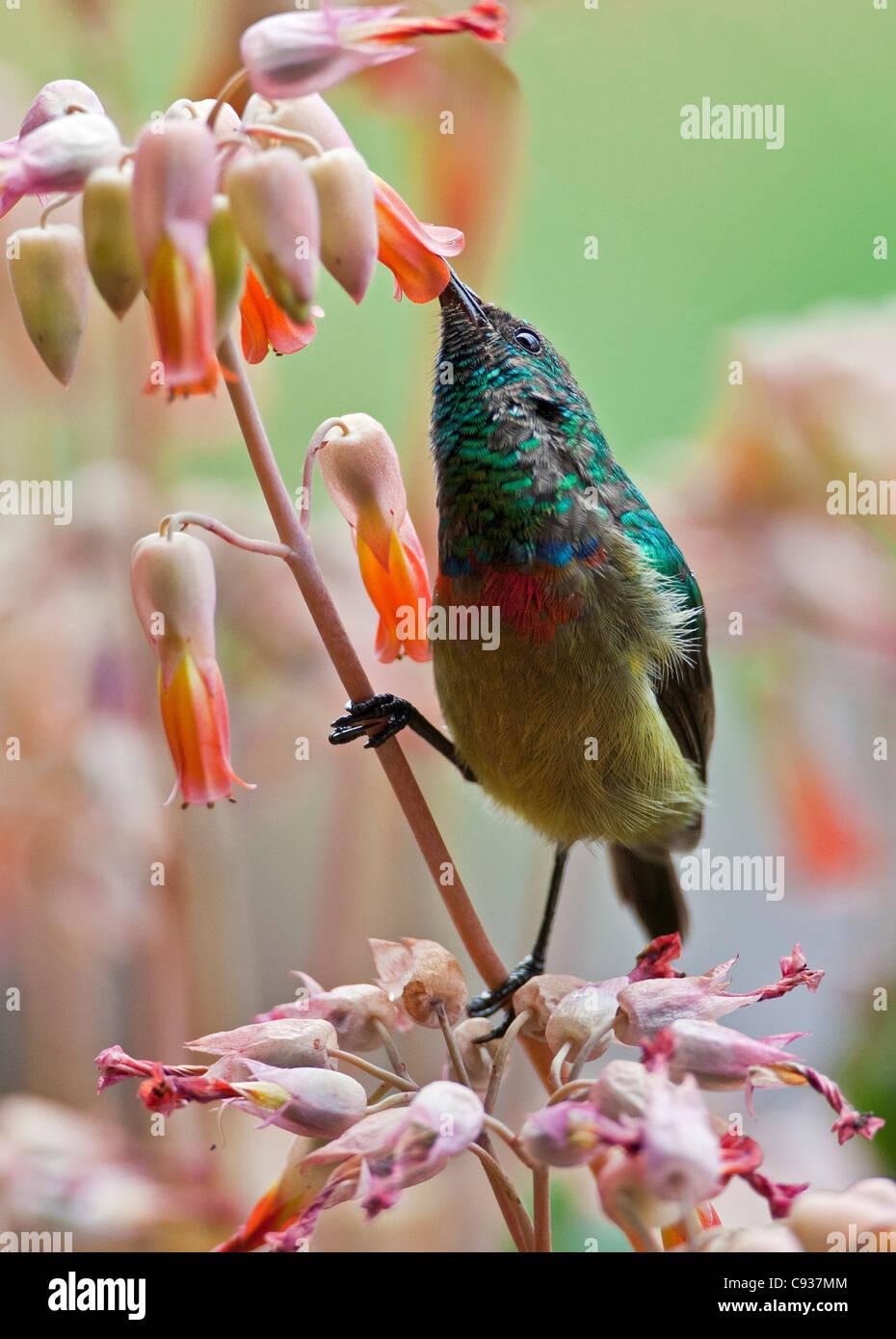 An Eastern Double-collared Sunbird. - Stock Image