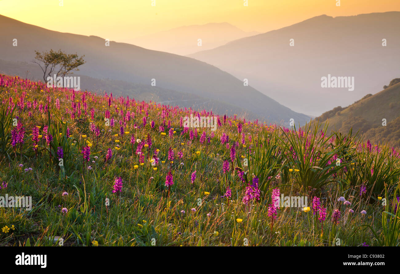 Italy, Umbria, Forca Canapine. Pink orchids growing at the Forca Canapine, Monti Sibillini National Park, bathed - Stock Image