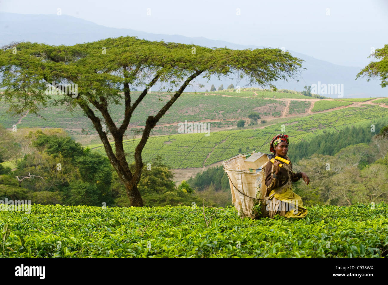 Malawi, Thyolo, Satemwa Tea Estate.  A female tea picker out plucking tea. - Stock Image