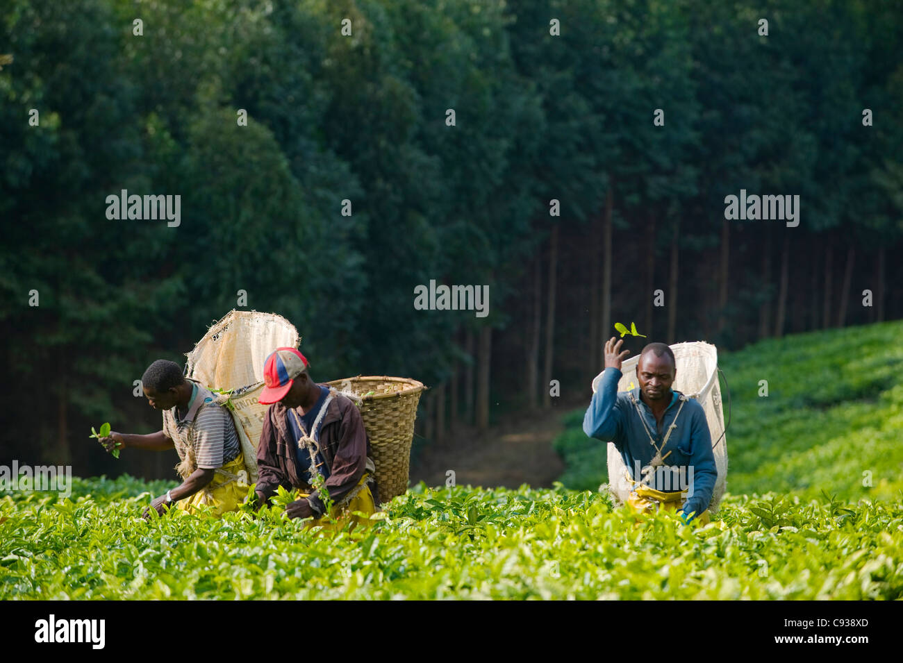 Malawi, Thyolo, Satemwa Tea Estate.  Workers plucking tea. - Stock Image