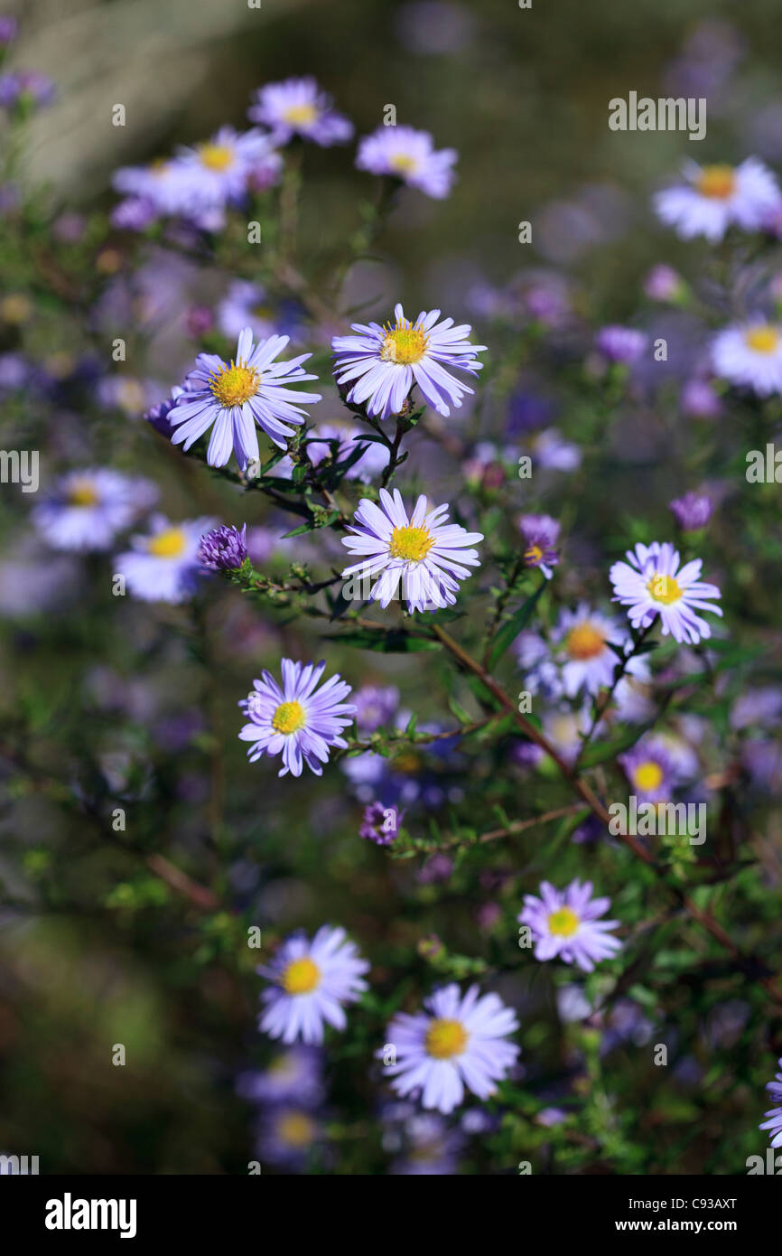 Daisy like flowers stock photos daisy like flowers stock images aster ringdove pale lilac mauve daisy like flowers stock image izmirmasajfo Images