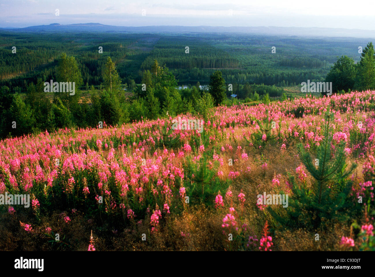 Härjedalen is province of unspoiled nature in the center of Sweden that borders Norway as well as Dalarna province - Stock Image