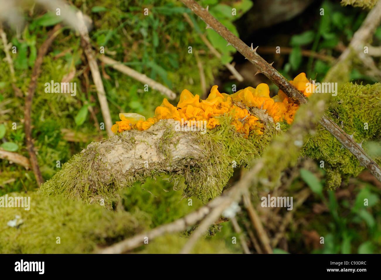 Yellow Brain Fungus, tremella mesenterica Stock Photo