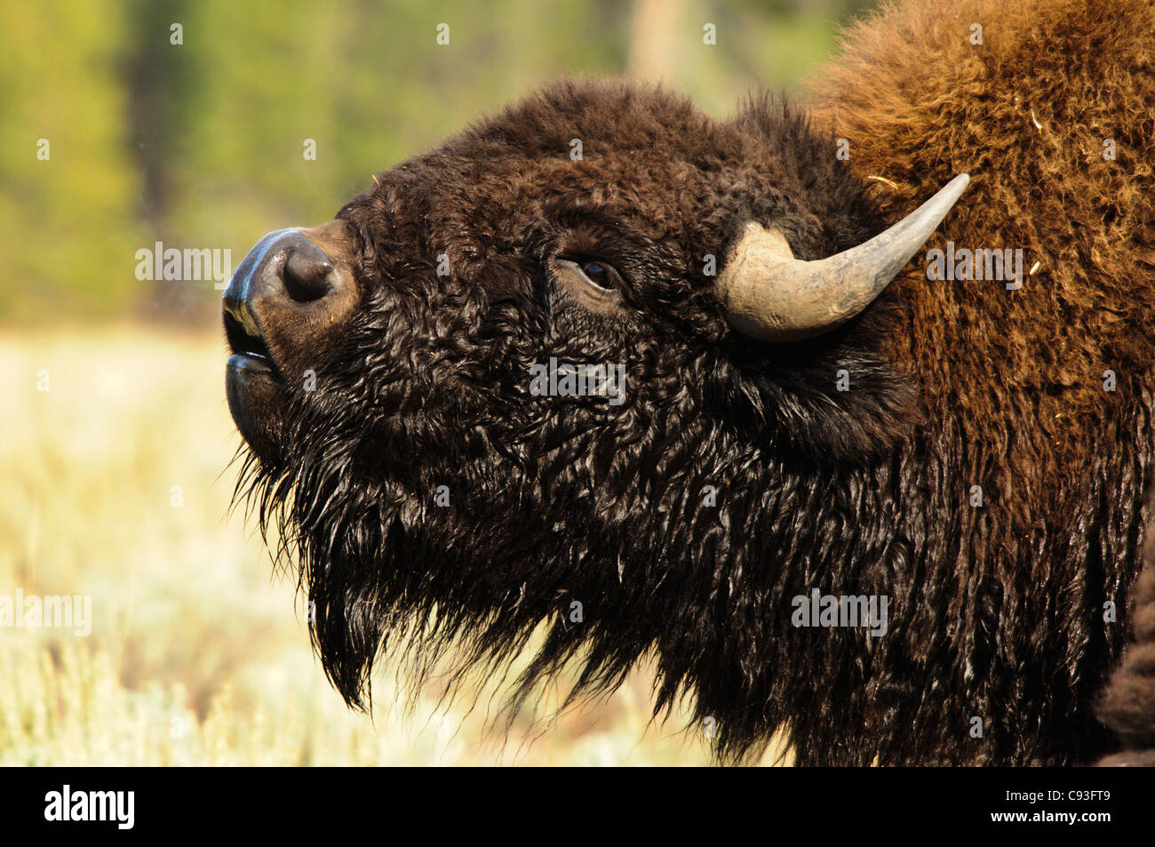 A large bull American bison (Bison bison) smells the air for the scent of a female in Yellowstone National Park, - Stock Image