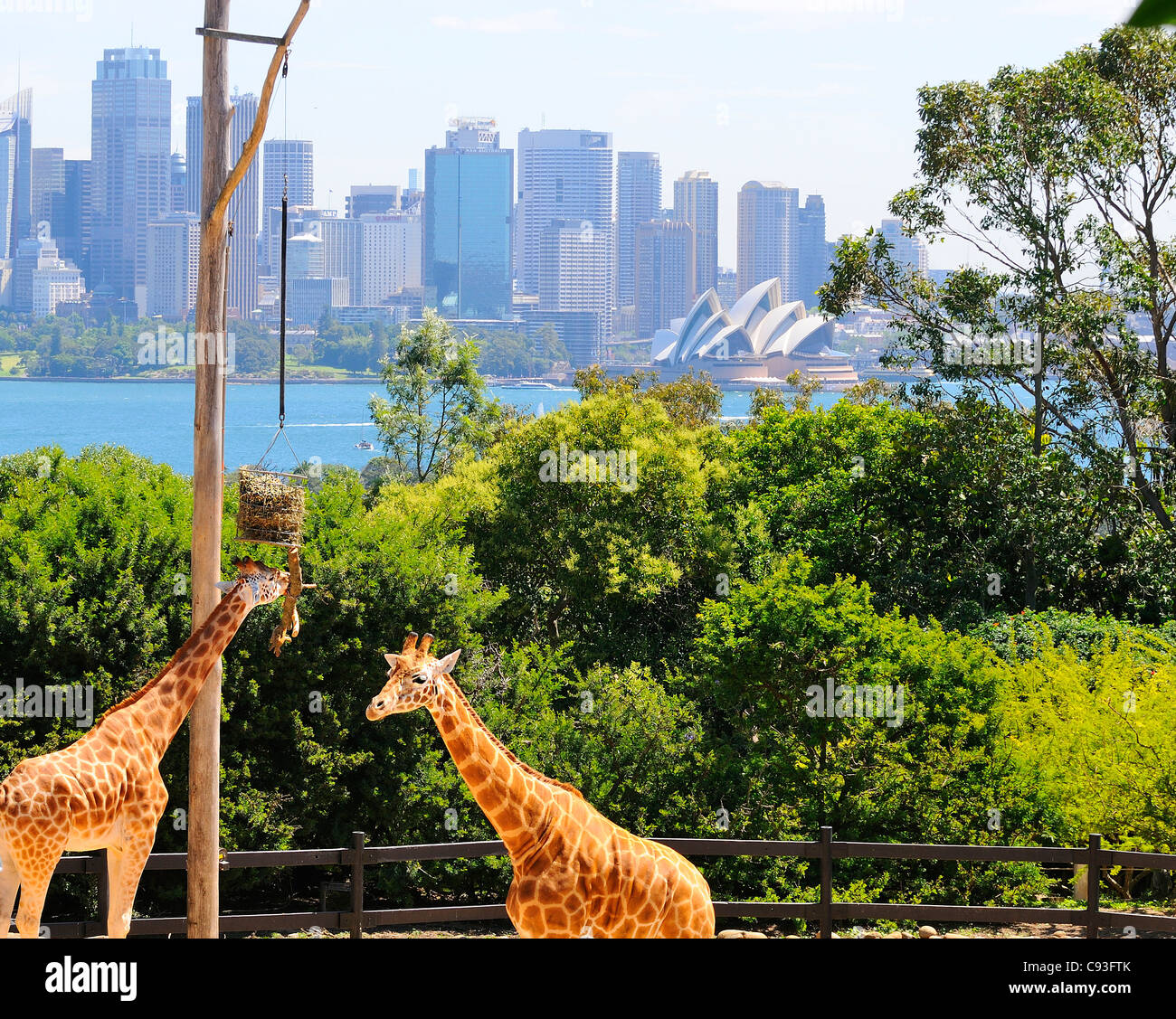 Giraffe's in their enclosure at Taronga Zoo on the shores of Sydney Harbour in the suburb of Mosman with the - Stock Image