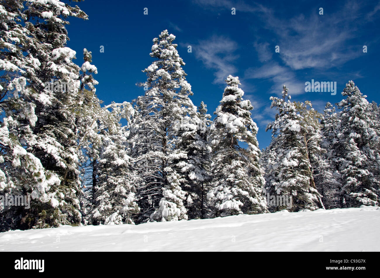snow winter scene evergreen trees - Stock Image