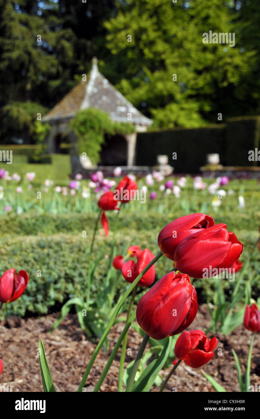 Red tulips in a garden with a summerhouse in the background. - Stock Image