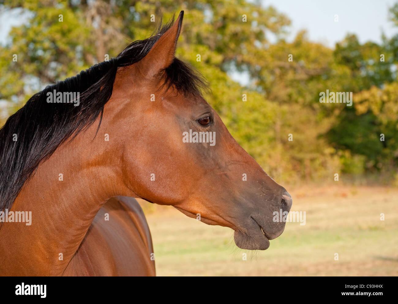 Profile of a beautiful red bay Arabian horse - Stock Image