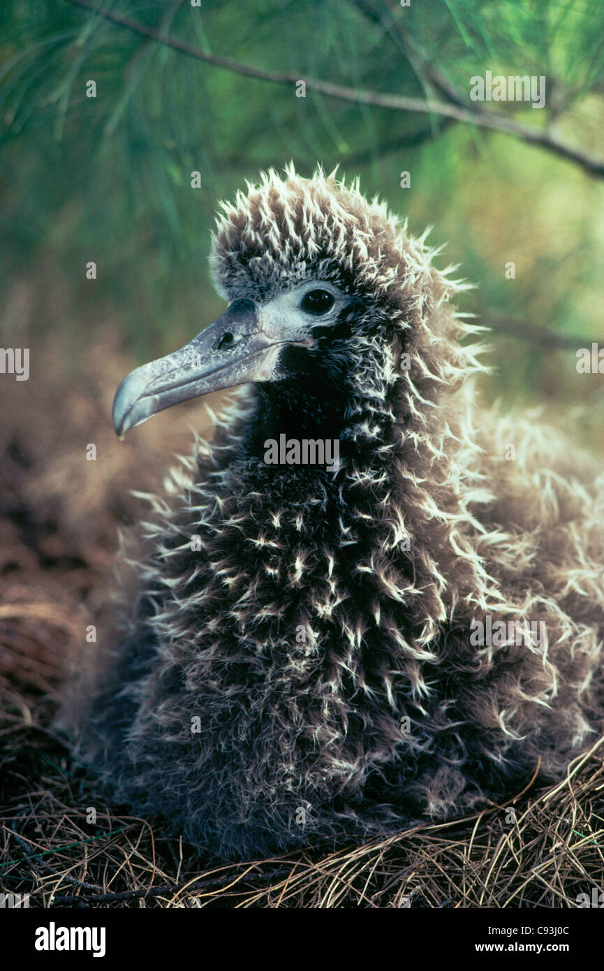 Laysan Albatross chick on nest, (Diomedea immutabilis) Kilauea National Wildlife Refuge, Kauai, Hawaii. - Stock Image