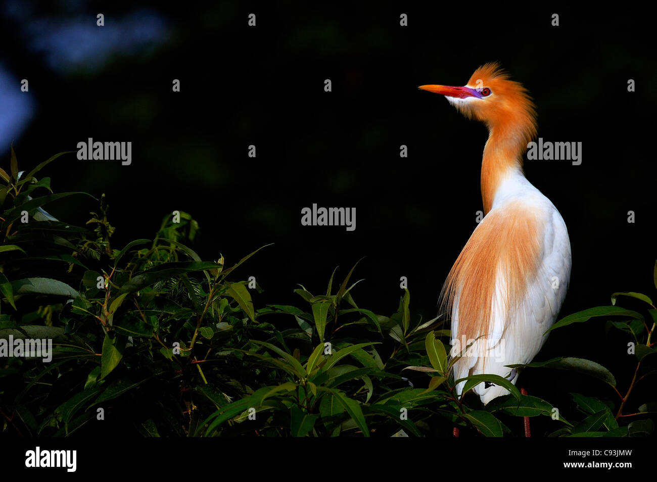 Cattle Egret (Bubulcus ibis) in breeding plumage perched on a tree Stock Photo