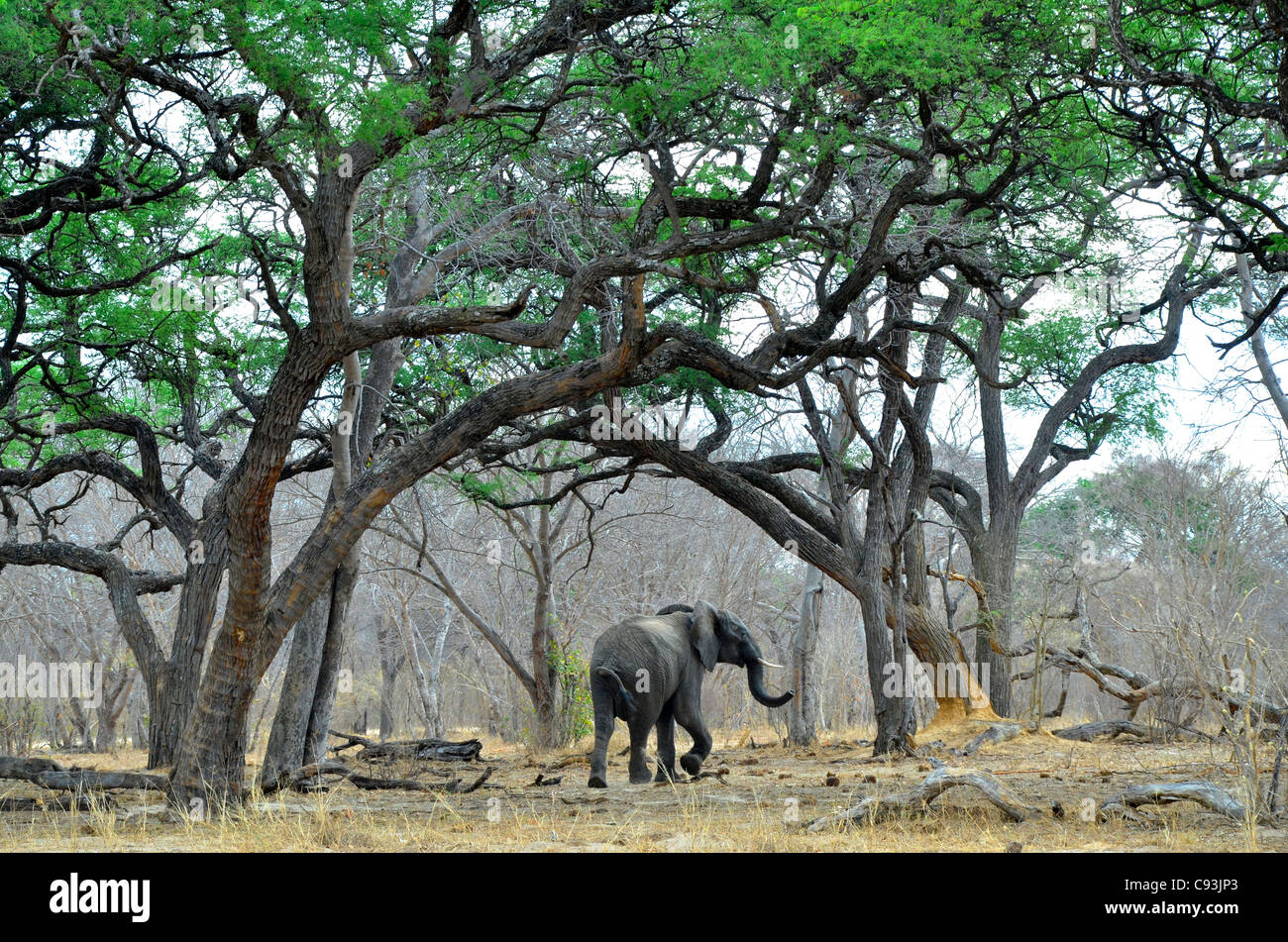 Zimbabwe is a small country boasting an incredible variety of landscapes and animals. - Stock Image