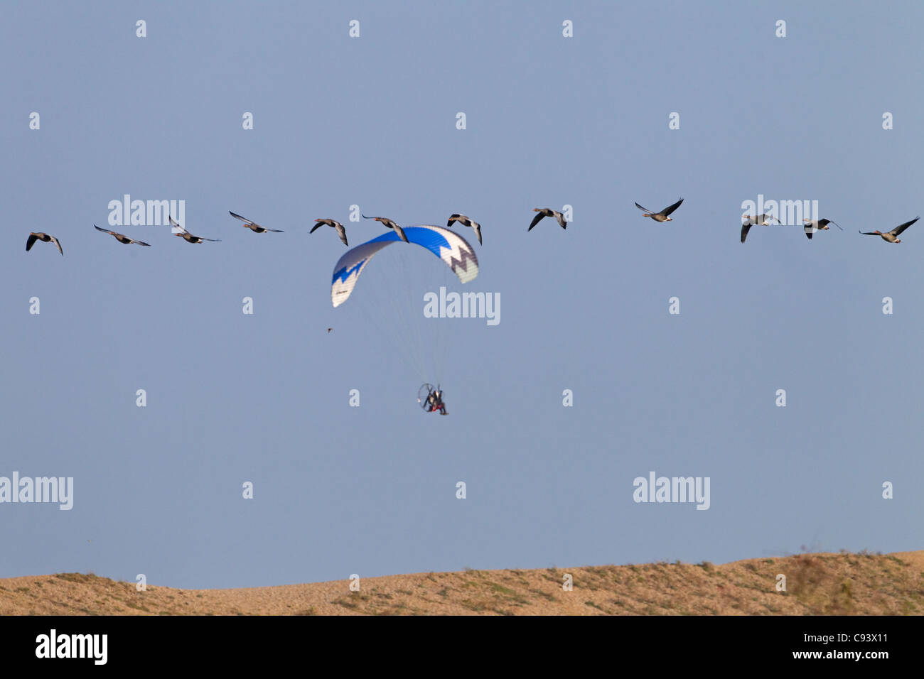 Flying geese and Paraglider over Cley bank Norfolk UK - Stock Image