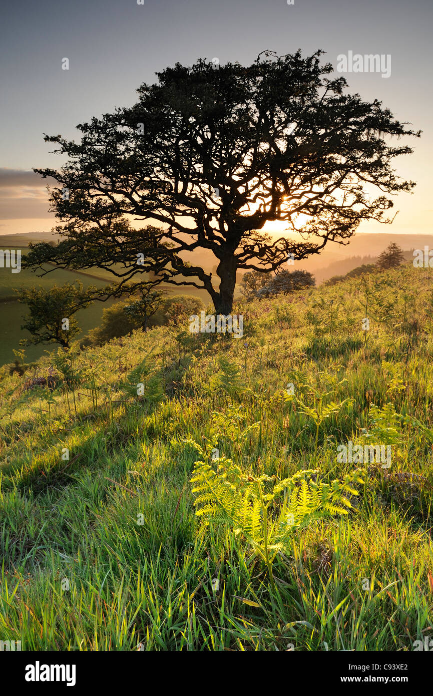 A twisted Hawthorn tree growing in rolling countryside on Winsford Hill, Exmoor, UK. - Stock Image