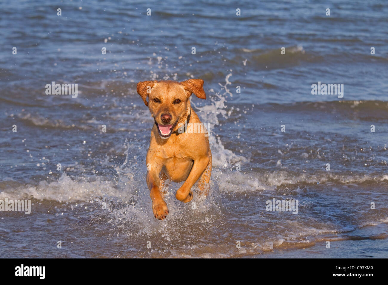 Yellow Labrador running through breaking waves on the north Norfolk coast at Cromer - Stock Image
