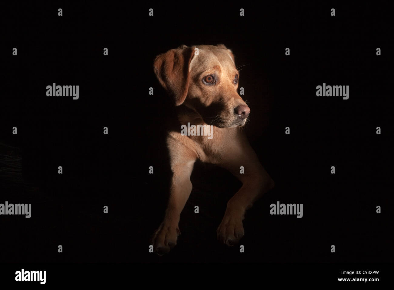 Dramatic low key portrait of Yellow Labrador on black background - Stock Image
