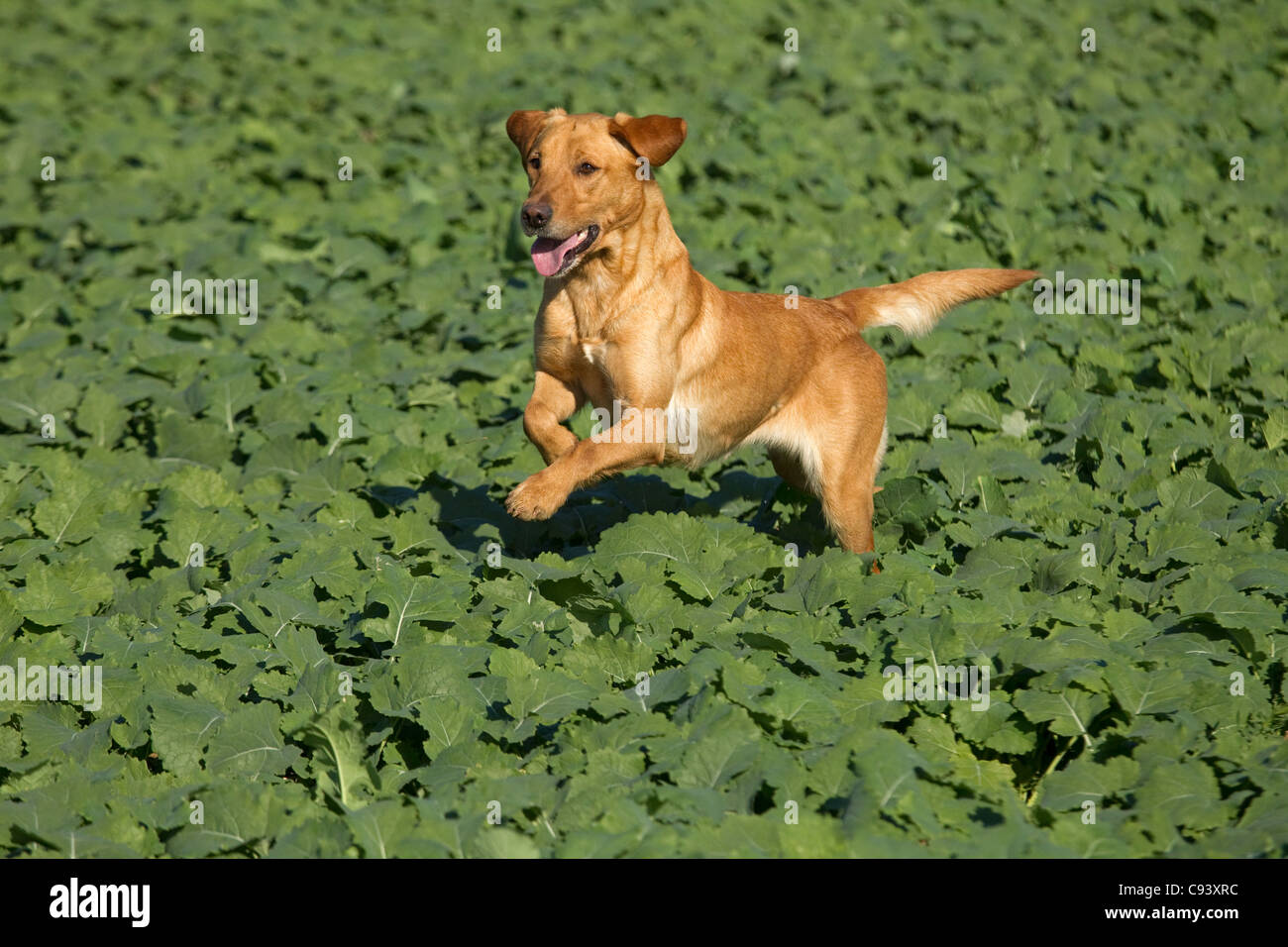 Yellow Labrador looking for shot and wounded pheasants on game shoot - Stock Image