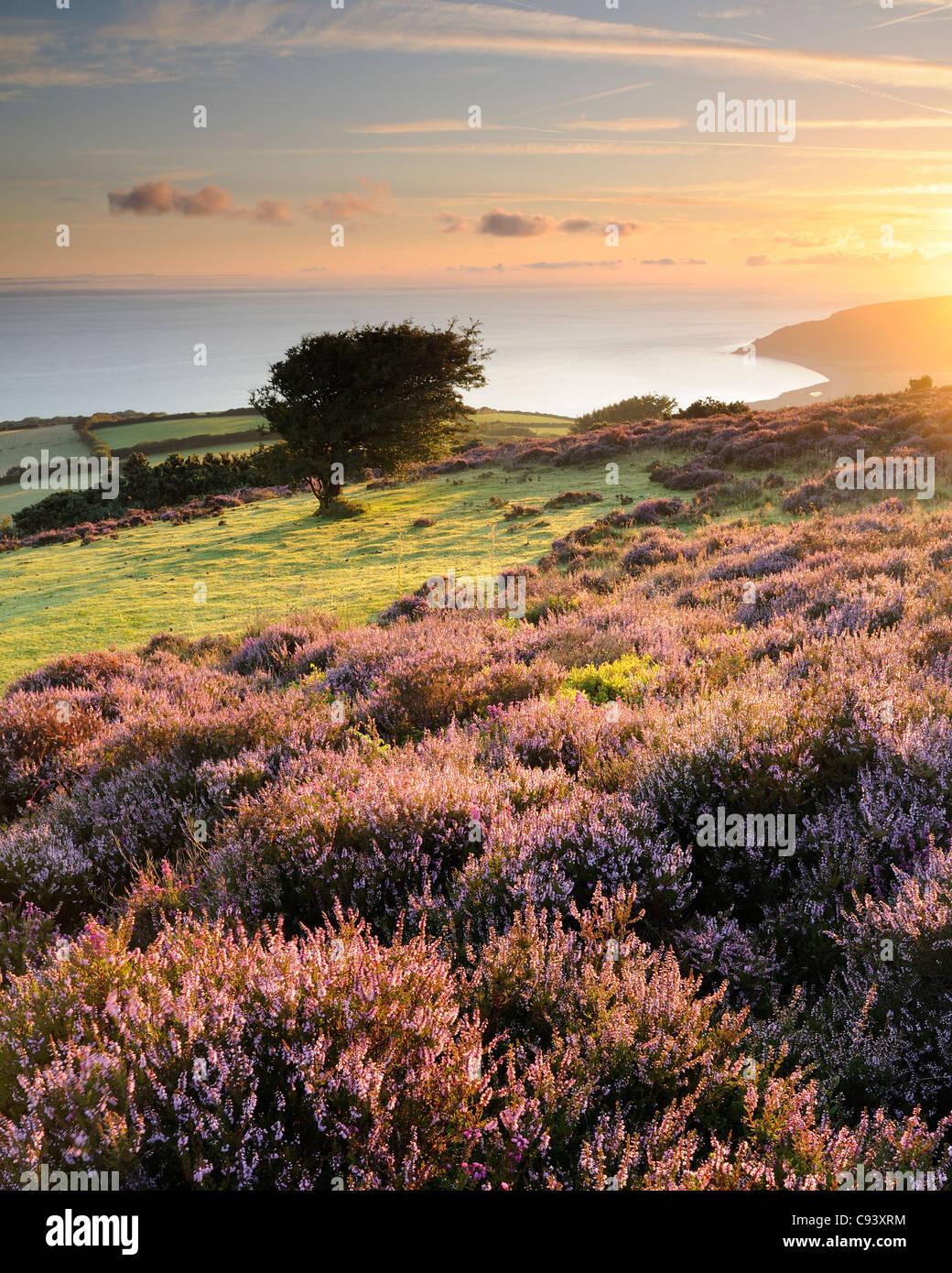 Flowering heather and a hawthorn tree on Porlock Common at sunrise. Exmoor, UK. - Stock Image