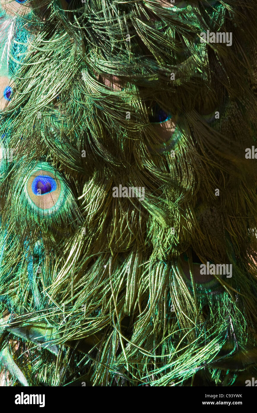 blue-green or green coloured plumage Peacock Tail Abtract - Stock Image