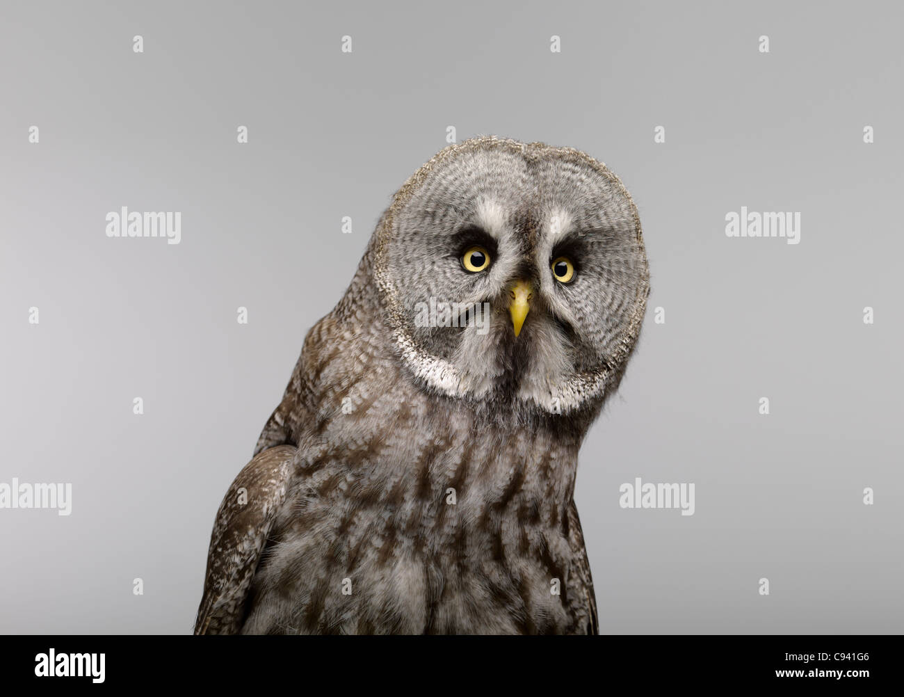 Great Grey Owl on a light grey background looking at the camera - Stock Image