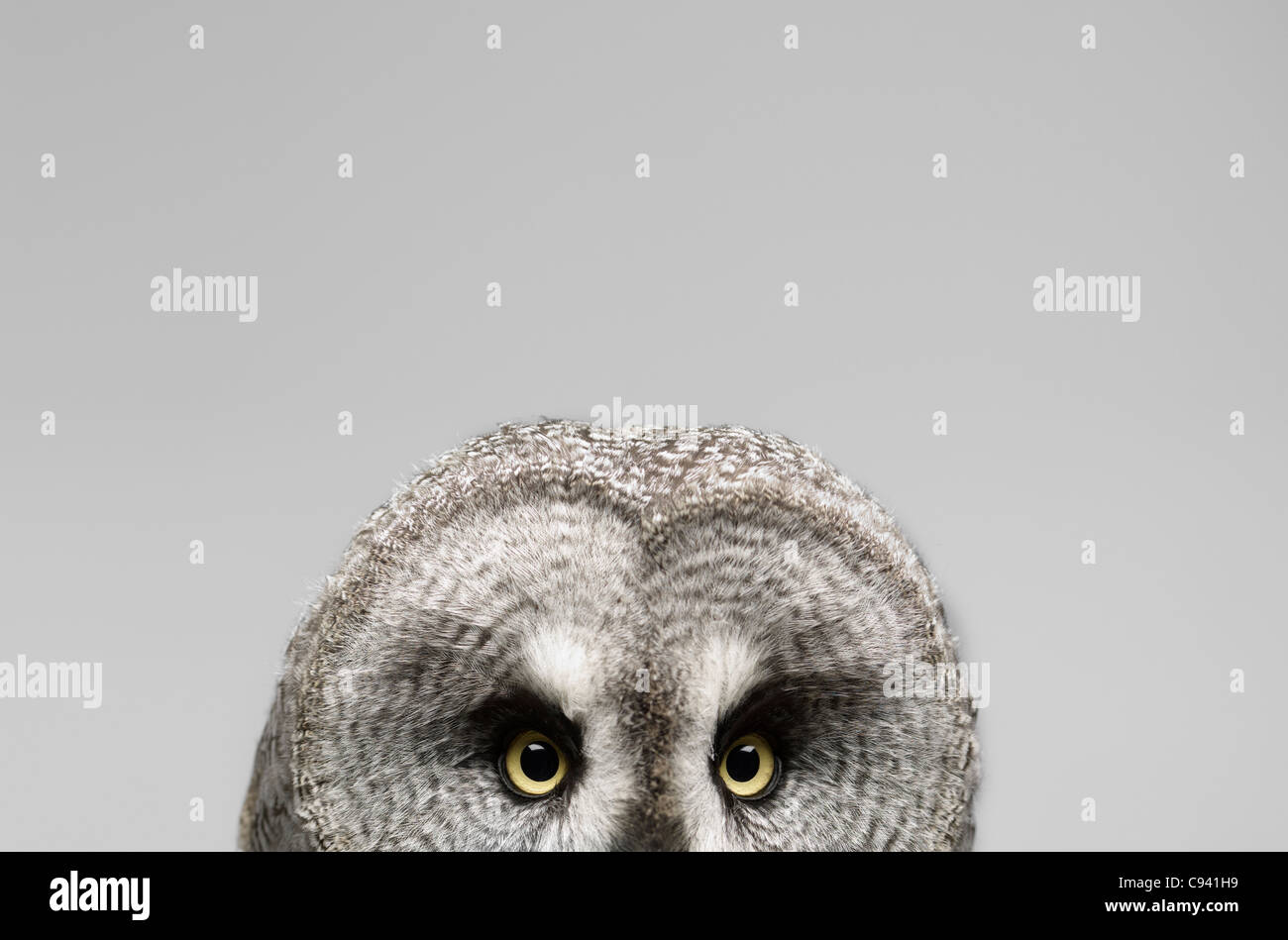 Great Grey Owl on a light gray background - Stock Image