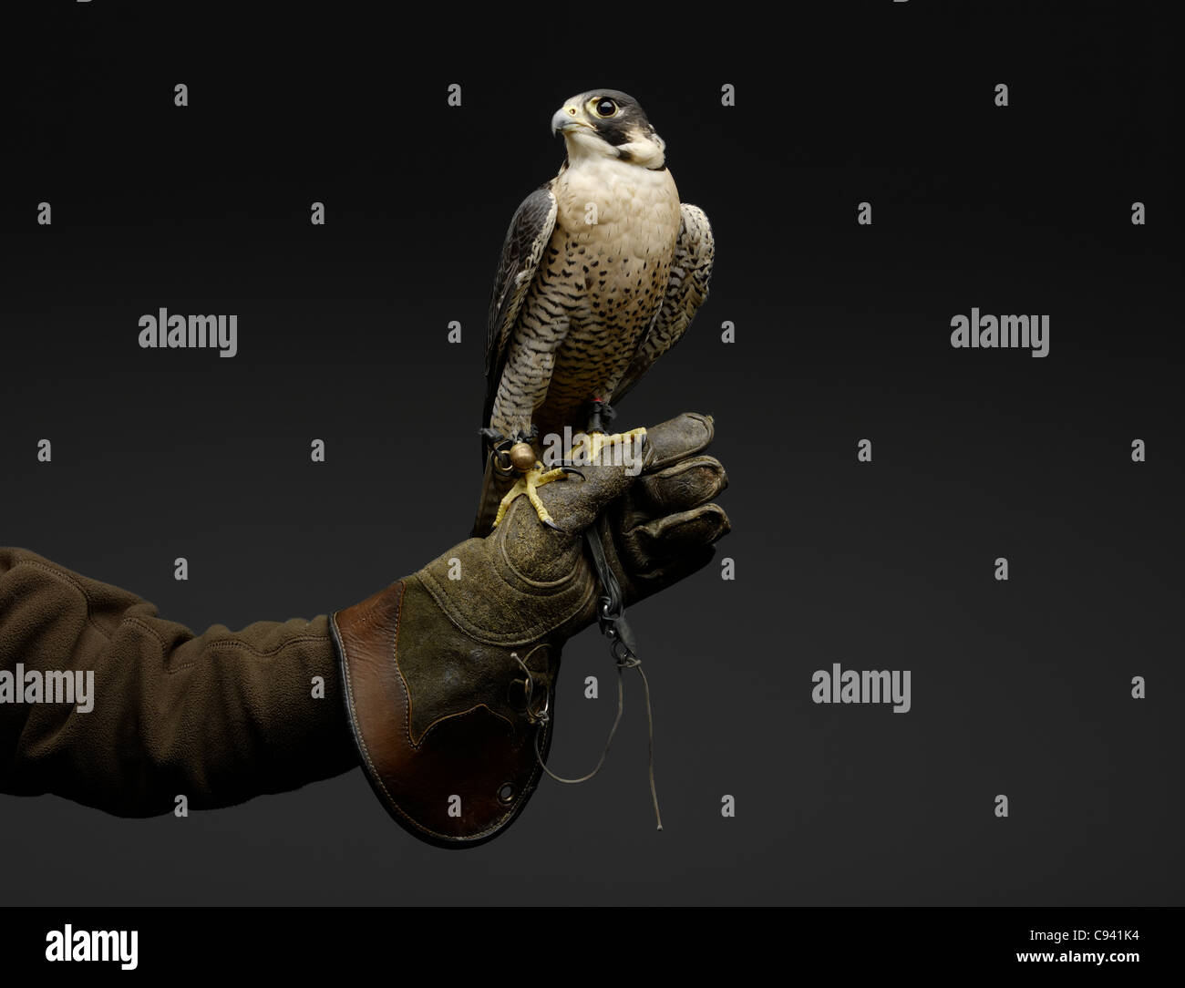 Peregrine Falcon resting on gloved Falconer's hand. Stock Photo