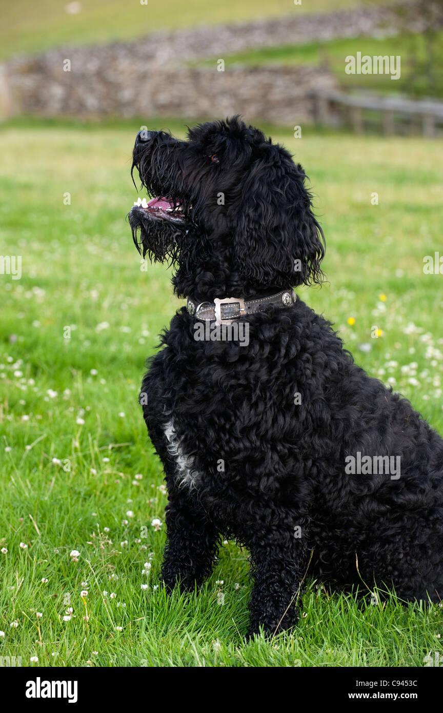 Labradoodle dog sitting waiting for command. - Stock Image