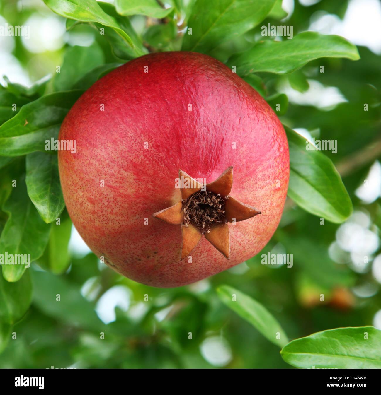 Ripe pomegranate on a tree. - Stock Image