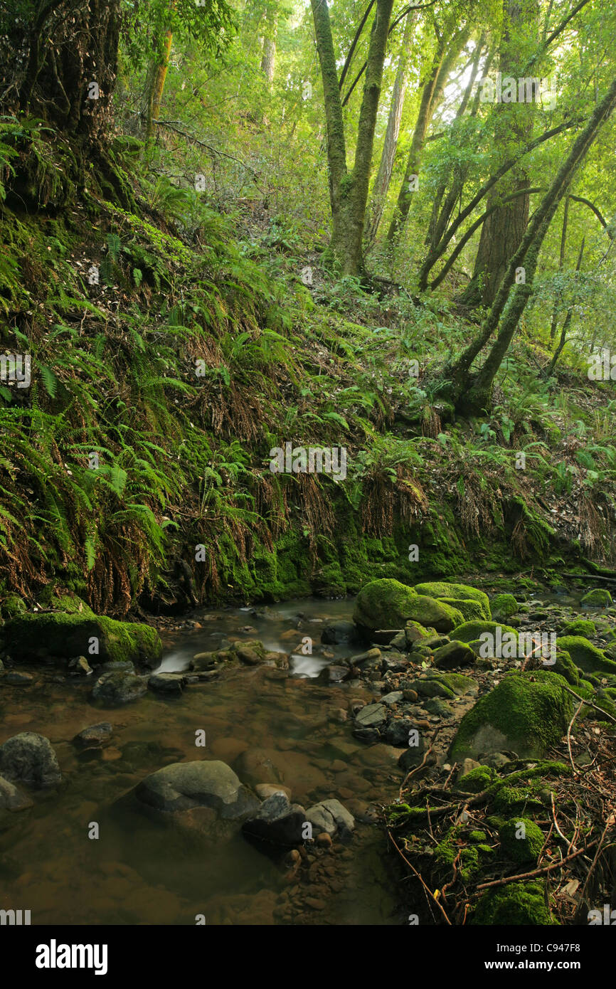 A remote prehistoric rain forest with large ferns, located in California Stock Photo