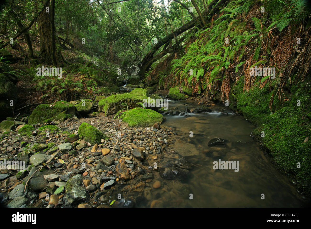 A remote prehistoric rain forest with large ferns, located in California - Stock Image