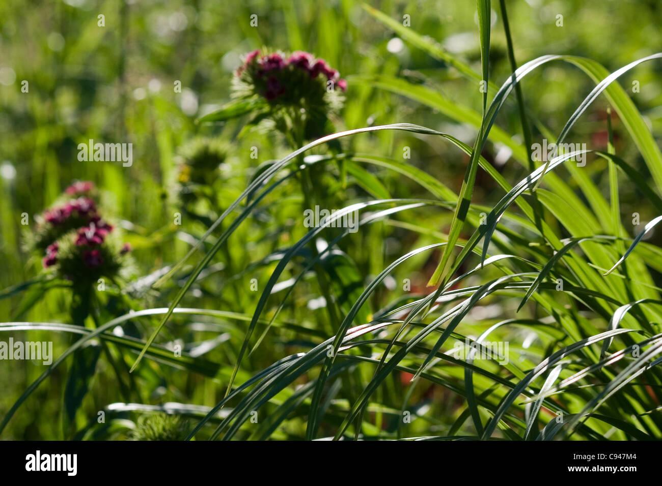 Sweet William (Dianthus barbatus) flowers in the grass - Stock Image