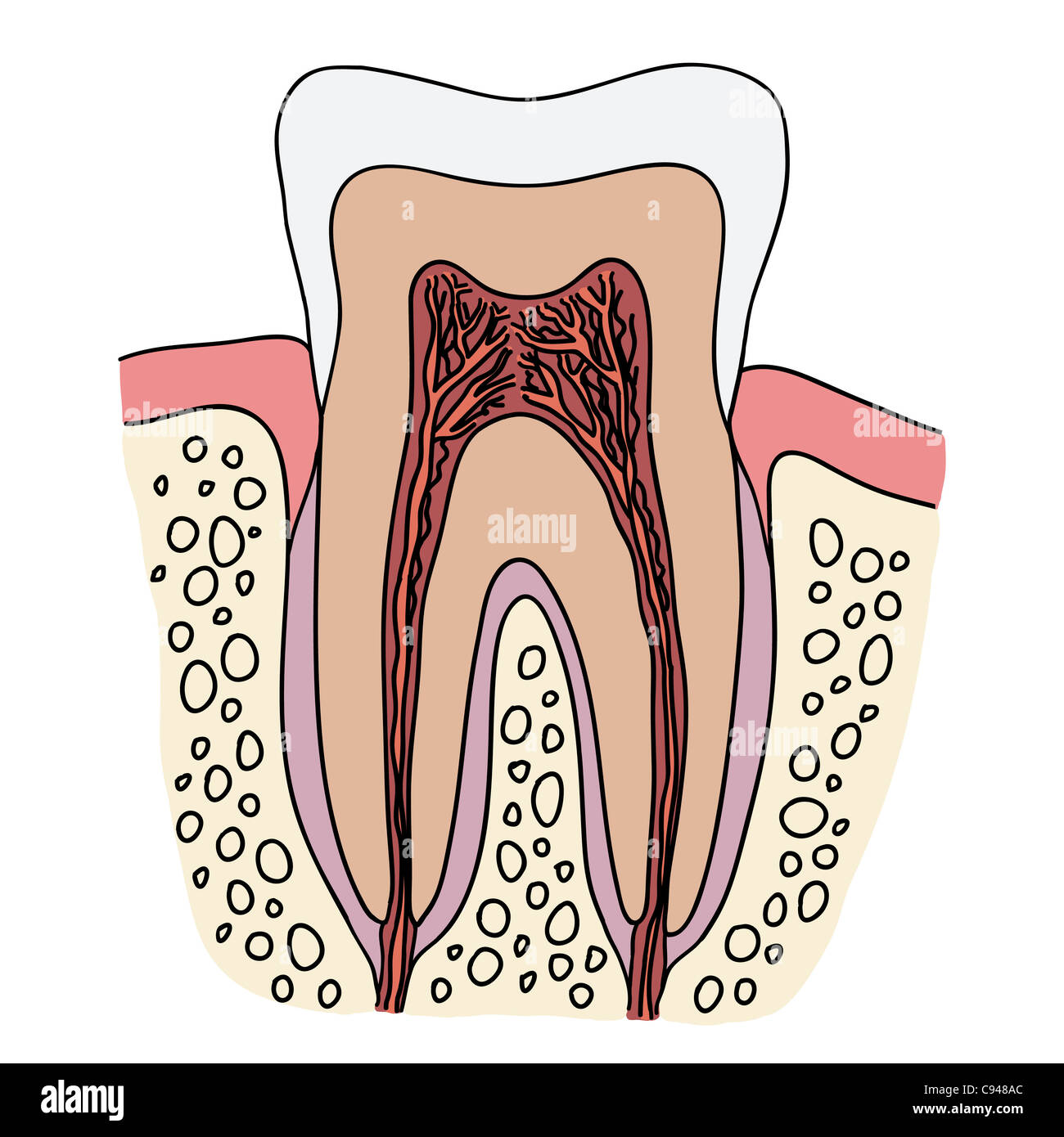 Anatomic Root Of The Tooth Stock Photos & Anatomic Root Of The Tooth ...