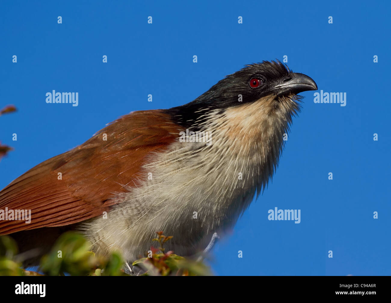 Burchell's Coucal, Centropus burchellii on the hunt - Stock Image