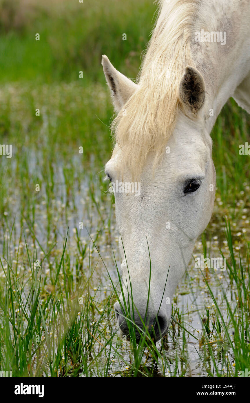 Camargue horse feeding on plants in a swamp area, Camargue, France - Stock Image